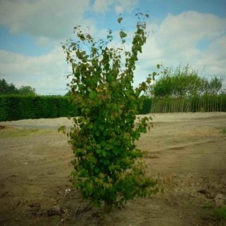 Hartjesboom meerstammig kopen