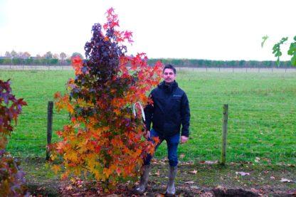 Amberboom meerstammig