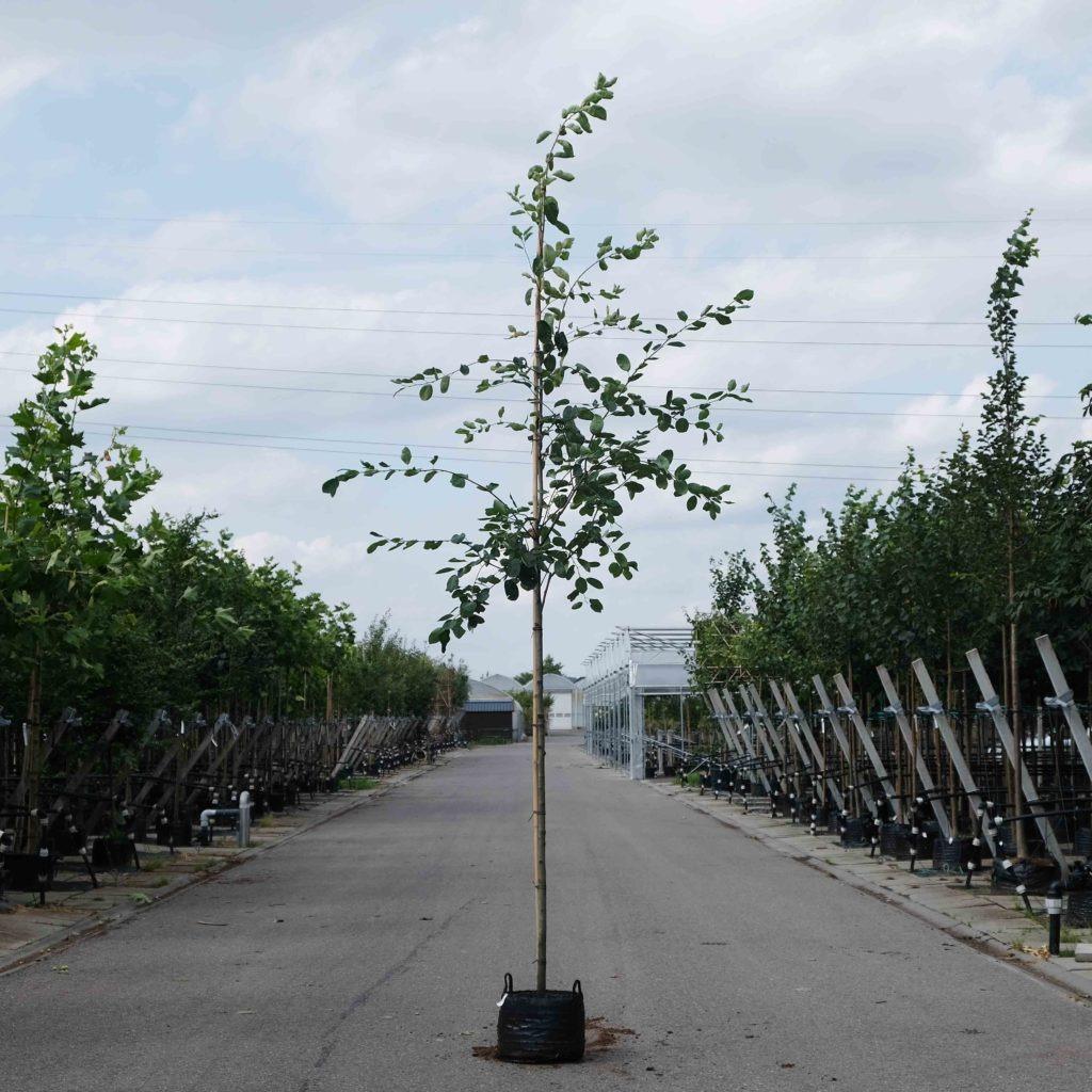Krentenboom kopen