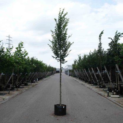 Beukenboom kopen