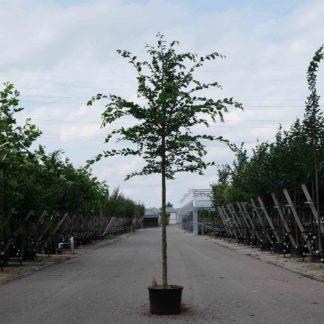 Beukenboom (Carpinus betulus) kopen