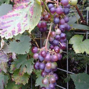 druivenstruik