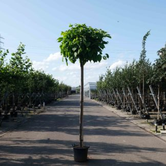 Grote bomen op stam
