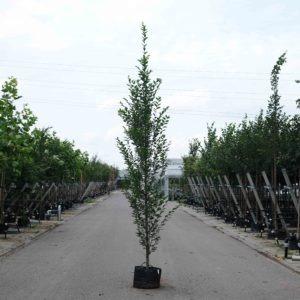 Zuilbomen snoeien