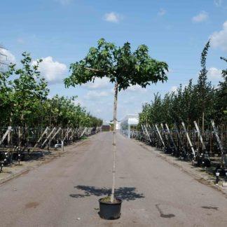 Dak amberboom kopen