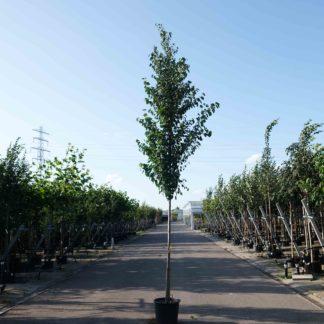 Hartjesboom kopen