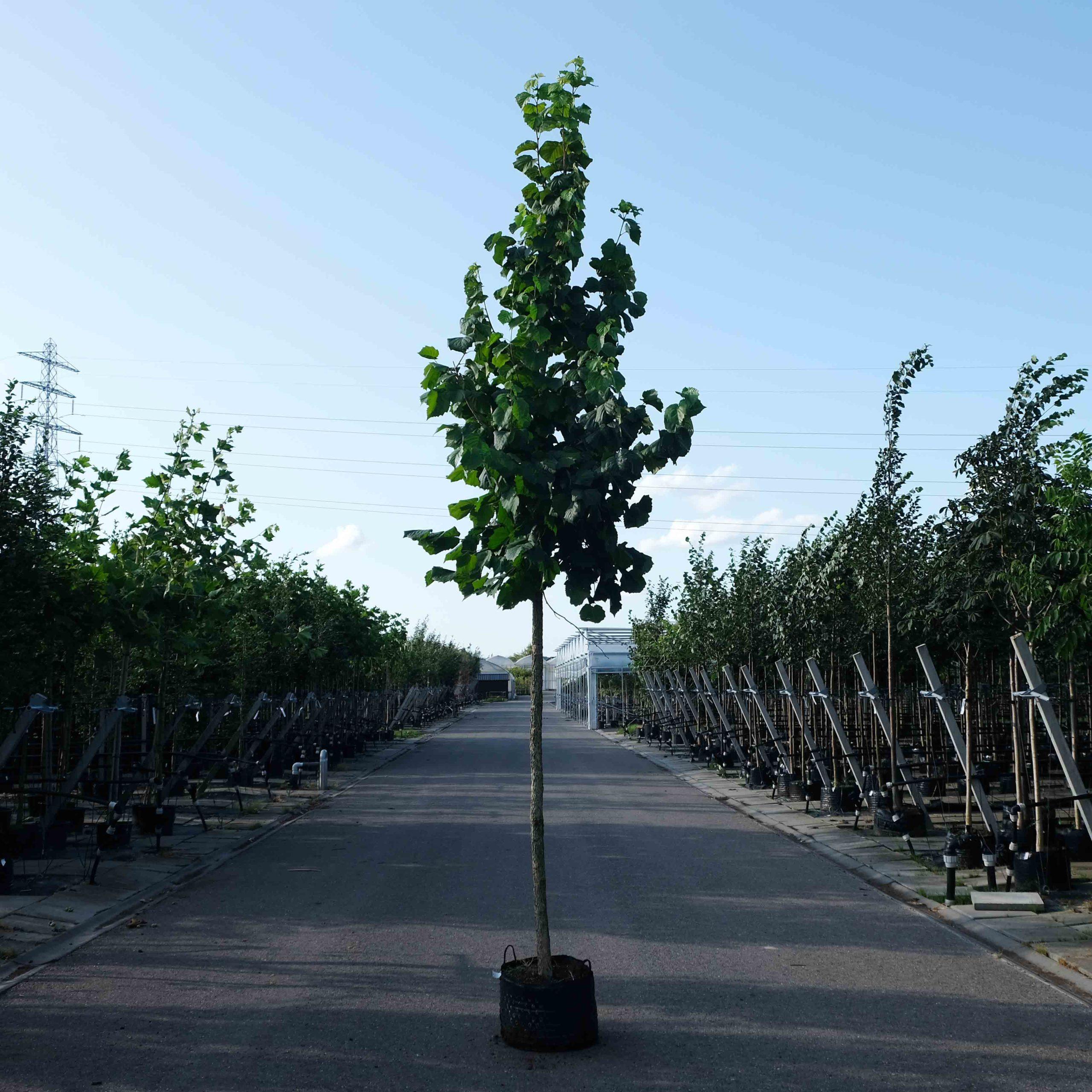 Hazelaar boom kopen