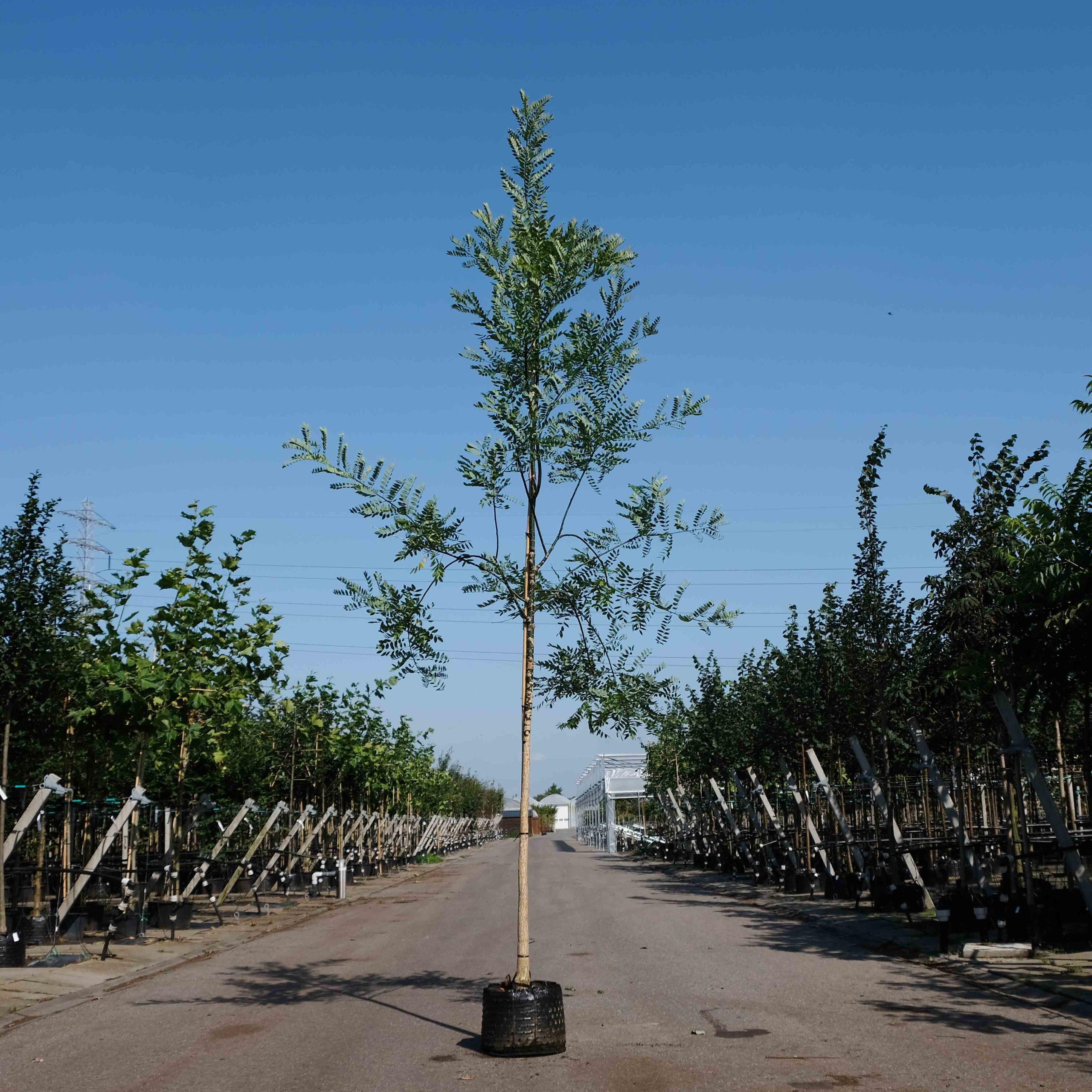 Honingboom Kopen Beste Kwaliteit Betuwebomen Nl