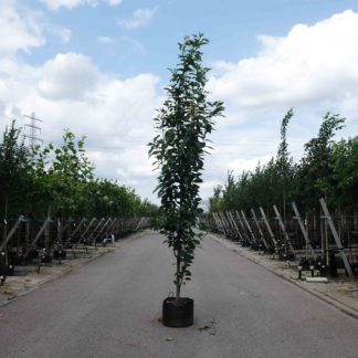 Zuilvormige Prunus