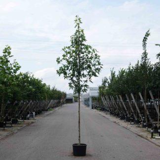 Meerdere laanbomen