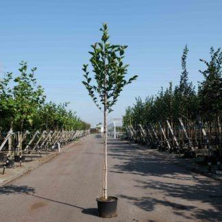 Magnolia Heaven Scent kopen