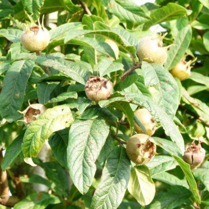 Mispelboom