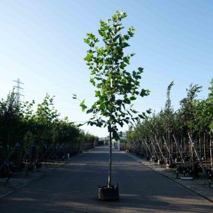 Plataan boom kopen