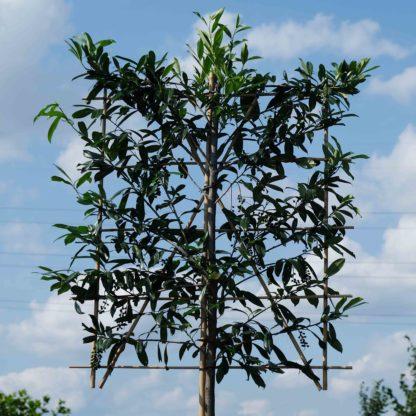 Prunus Caucasica leiboom