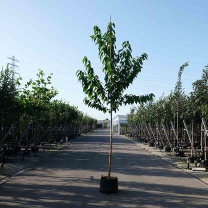 Prunus Maackii kopen