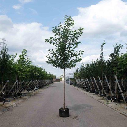 Prunus Plena