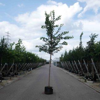 Sierkers (Prunus Yedoensis)