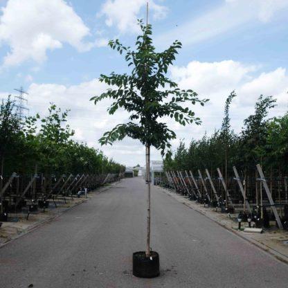 Sierkers (Prunus accolade) kopen