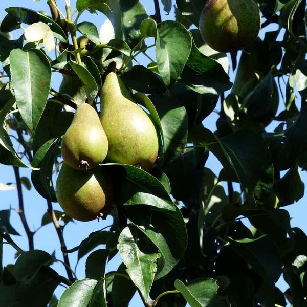 Perenboom kopen