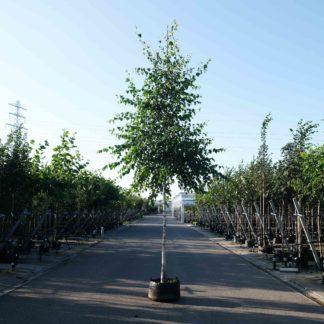 Laanbomen