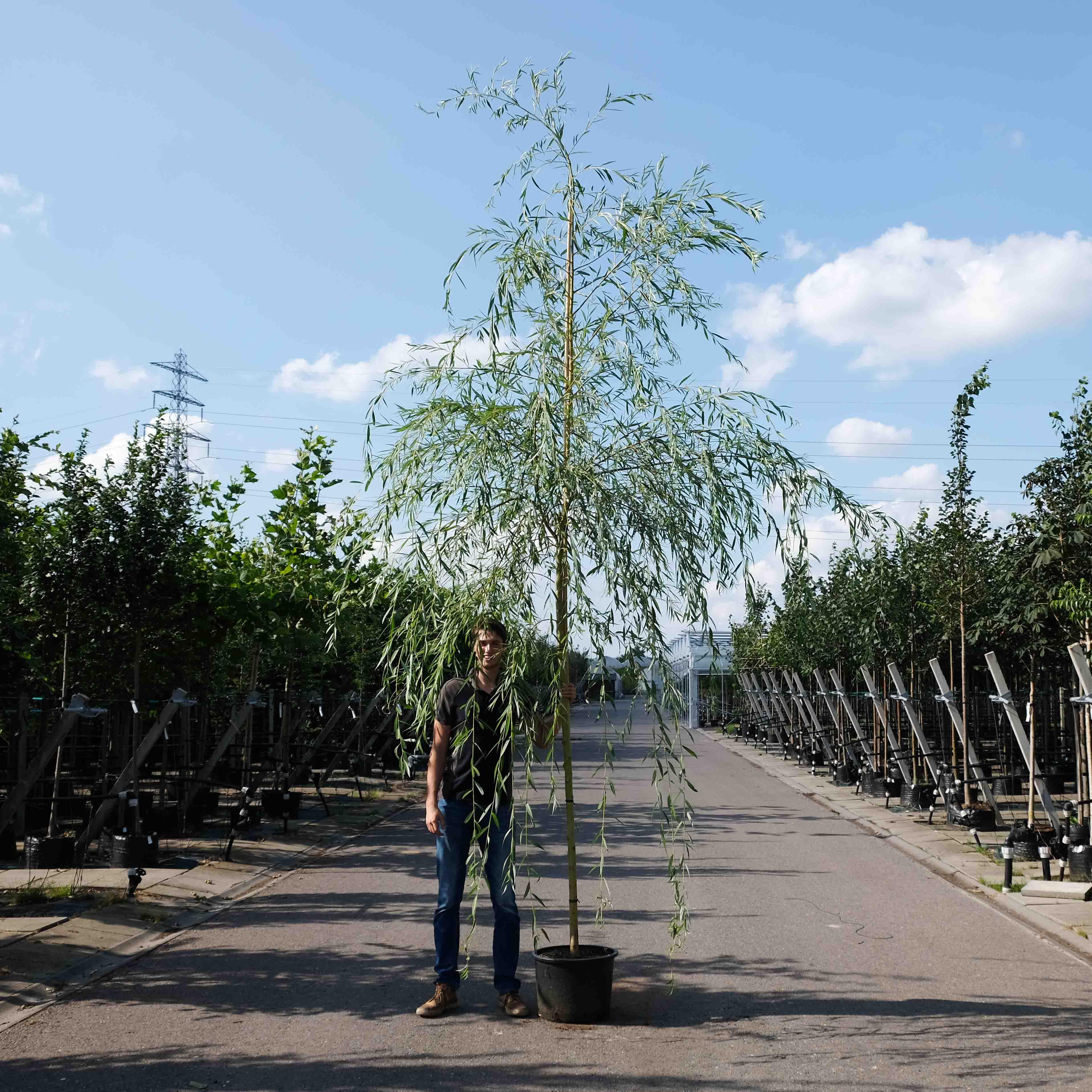 Wilgenboom kopen