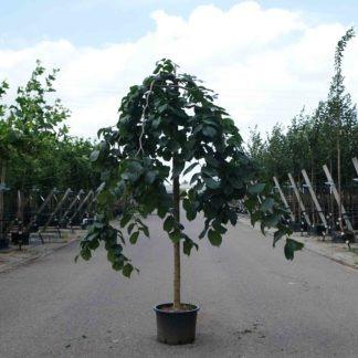 Treurbomen