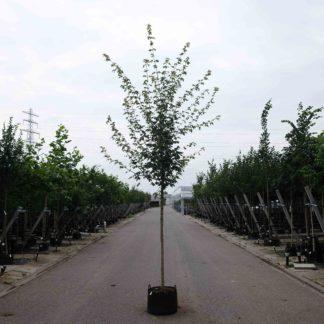 Veldesdoorn (Acer c. Elsrijk) kopen