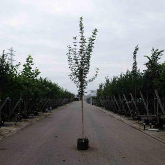 Veldesdoorn (Acer c. Huibers Elegant) kopen