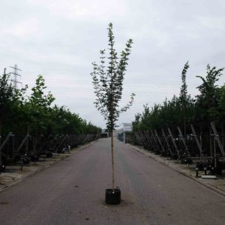 Veldesdoorn (Acer Campestre)