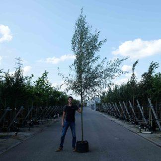 Groene wilgenboom kopen