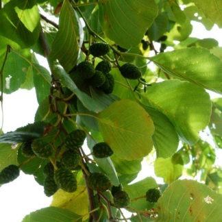 Zwarte els bosplantsoen kopen