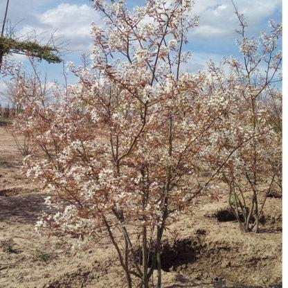 Meerstammige krentenboom kopen