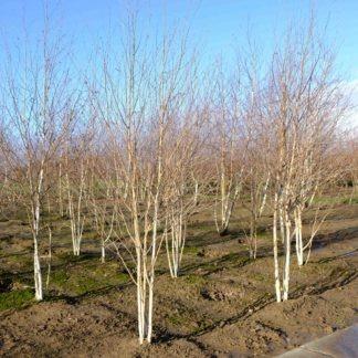 Meerstammige berkenboom kopen