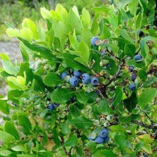 Blauwe bosbes kopen
