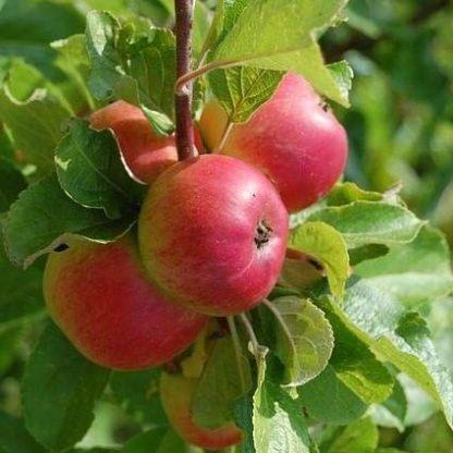 Appelboom (Malus Braeburn) kopen