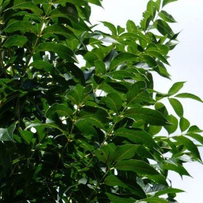 Fraxinus bosplantsoen kopen