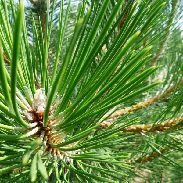 Pinus Nigra Nigra blad