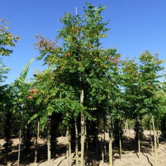 Chinese vernisboom kopen