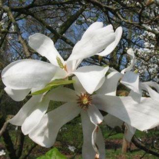 Magnolia struik