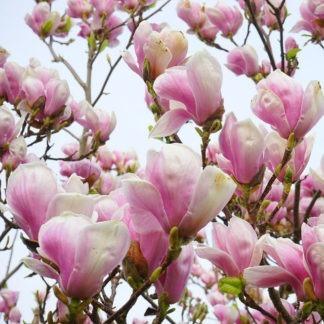 Meerstammige Magnolia kopen