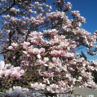 Magnolia soulangeana kopen