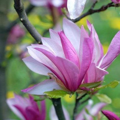 Meerstammige Magnolia Susan kopen