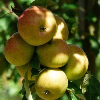 Appelboom (Malus Bloemeezoet) kopen