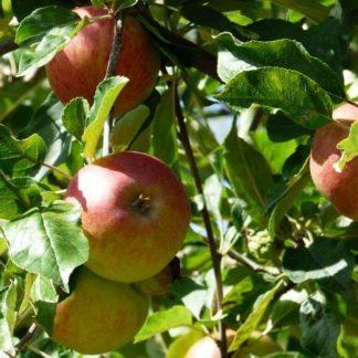 Appelboom (Malus Elstar) kopen