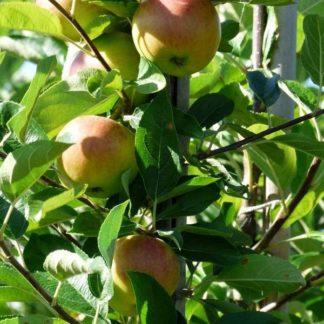 Appelboom (Malus Jonagold) kopen