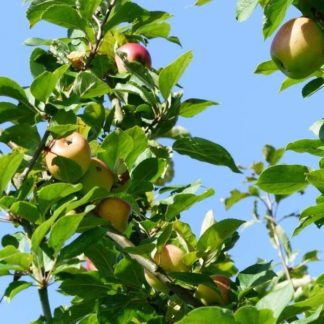 Appelboom (Malus Notarisappel) kopen
