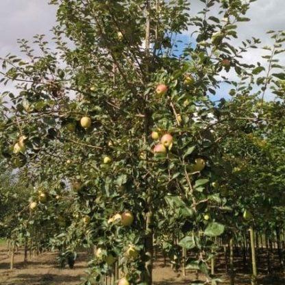 Rode boskoop appelboom