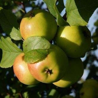 Appelboom (Malus sylvestris) kopen