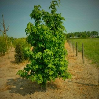 Meerstammige Amberboom kopen