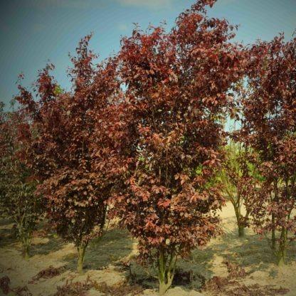 Prunus Nigra meerstammig
